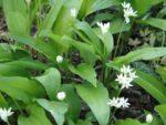 熊韮の花 深まる新緑