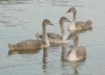 湖の夕方、白鳥の家族