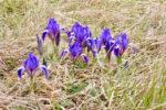 お花見 丘のちびっこアイリス