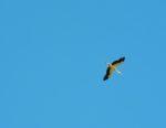コウノトリが子育て中です 家のすぐ上を飛んで行きました