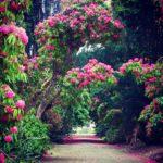 ヒマラヤから来た花の木々 美しい庭の歴史(2)
