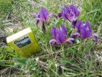 オーストリアの春を告げる花 自然保護区の小さなアイリス