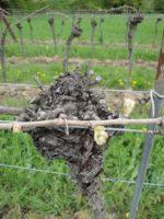 ぶどうの木の芽 オーストリアのワインの産地ブルゲンランドの四季